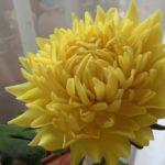 xrizantema-jeltaya-1